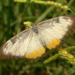 Common Mestra in Sycamore Canyon