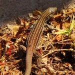 Sonoran Spotted Whiptail, Patagonia