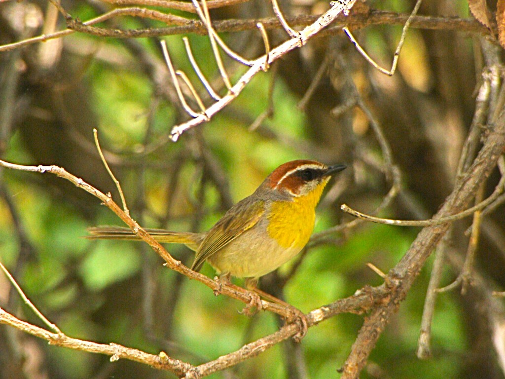 Rufous-capped Warbler at Patagonia-Sonoita Creek Preserve