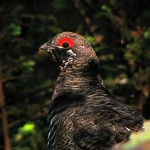 Spruce Grouse (finally!), northeast Maine