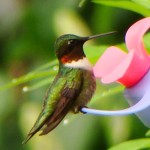 Ruby-throated Hummingbird, Vermont
