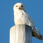 Snowy Owl (in summer!), northern New York