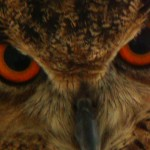 Eagle Owl, Cornell University Hawk Barn