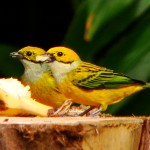 Silver-throated Tanagers