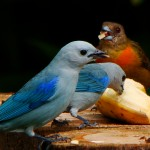 Blue-gray and Cherrie's Tanagers
