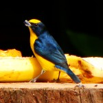 Thick-billed Euphonia, Nueva Suiza