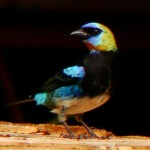 Golden-hooded Tanager, Nueva Suiza