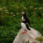 Atlantic Puffins, Machias Seal Island, ME
